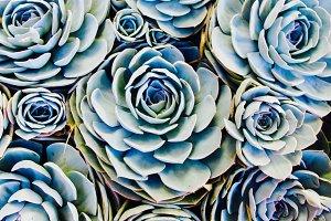 Succulents, CA
