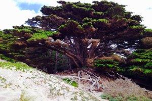 Tree, Big Sur, CA