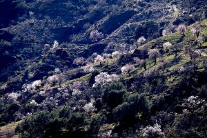 Hill with almond trees