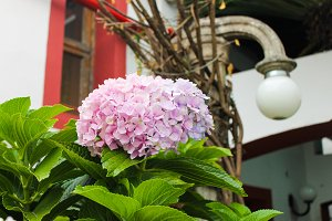 Chrysantemum Detail Garden