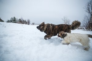 Two caucasian shepherd dogs walking in winter forest