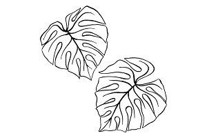 Monstera tropical leaf plant sketch
