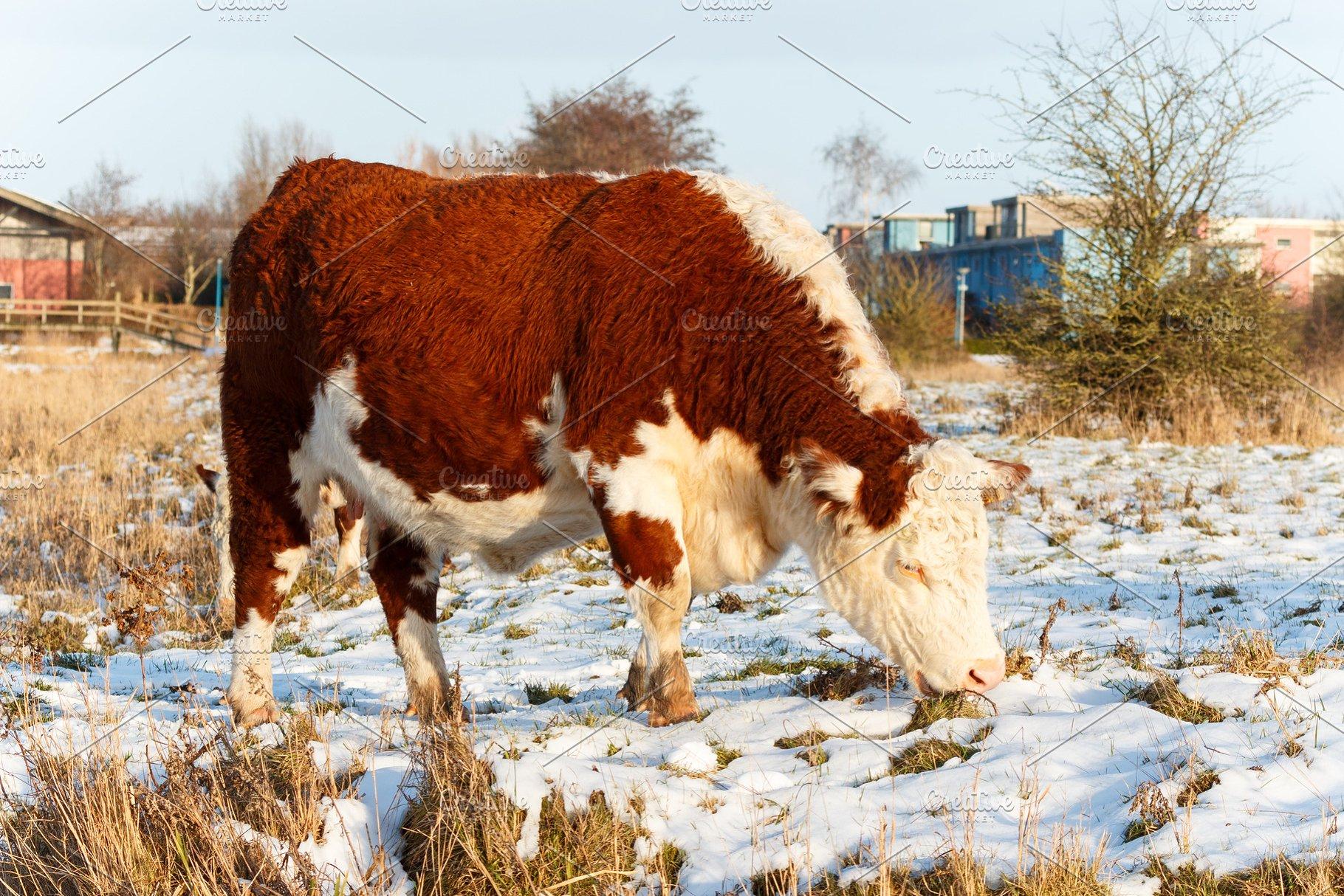 Scottish Highland Cattle Grazing In Park