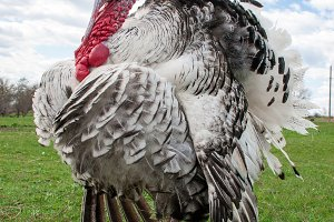turkey male or gobbler closeup on the blue sky background