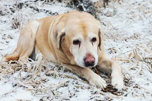 Golden labrador retriever dog in win