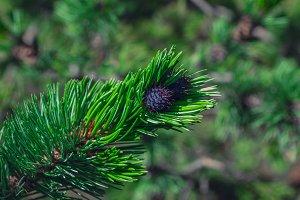 Coniferous green background.