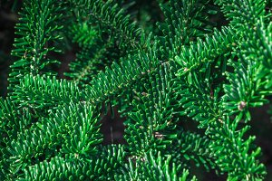 Coniferous green background.