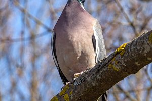 Common Wood-Pigeon.