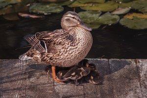 Ducklings under wings of their mum.