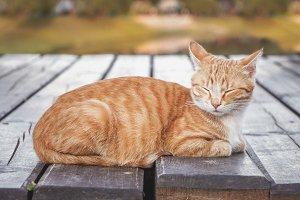 Sleeping ginger tabby cat.