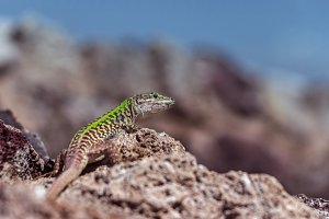 Small lizard with bright green back