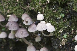 Mushrooms (Coprinus disseminatus)