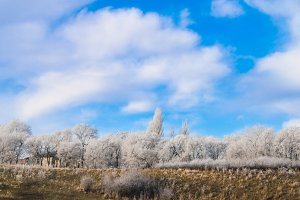 Trees in frost after frosts against the blue sky.