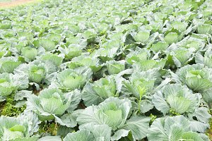 Agricultural cabbage