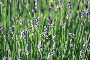 Lavender field closeup.