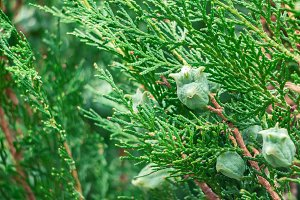 Texture of thuja leaves, fruits.