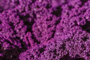 Purple decorative cabbage,Baltic Red