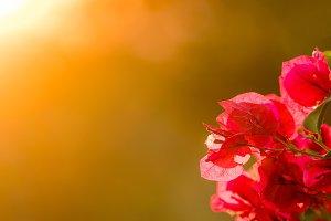 Bougainvillea flowers backlit against setting sun