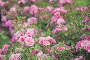 The bush with pink roses.