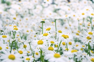 Field of chamomile flowers.