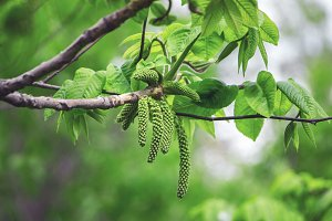 Birch catkins with green leaves.