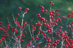 A lot of red winter berries.