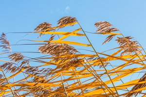 Bright yellow reeds.