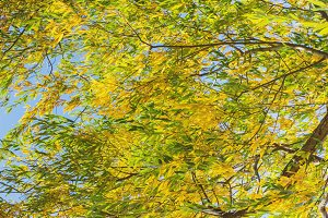 Bright yellow leaves of willow.