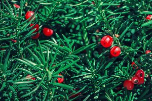 Yew tree with red fruits.