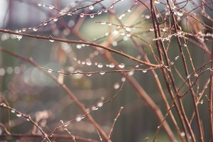 Rain drops on a branches.