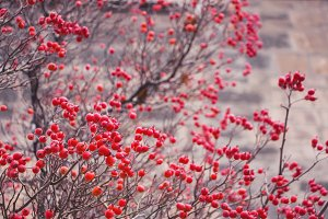 Red hawthorn berries.