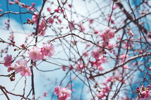 Blooming Sakura Flowers.