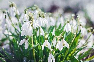 Spring snowdrop flowers.
