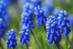 Blue grape hyacinth flowers.