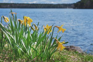 Narcissus flowers on the shore.