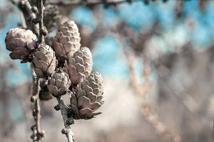 European larch cones and blue sky.