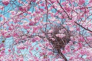 Bird nest and sakura flowers.