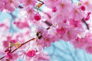 Blooming Sakura flowers, bumblebee.