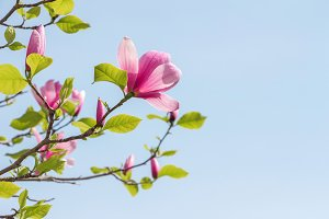 Blossoming of pink magnolia flowers.