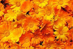Fresh calendula marigold flowers.