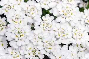 White flowers of Evergreen candytuft