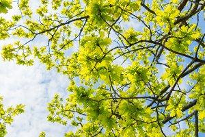 Green leaves of the oak tree.