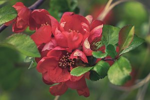 The Japan quince red orange flowers.