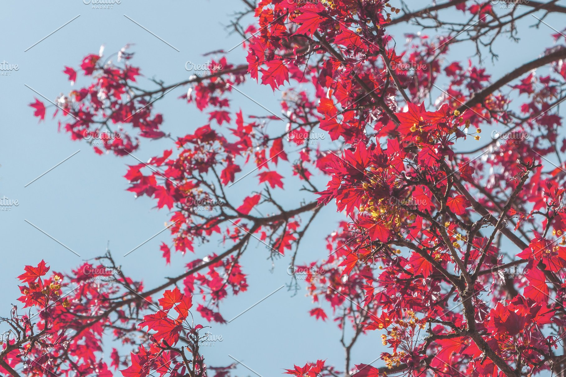 Leaves On Japanese Red Maple Tree