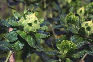 Green buds of Safflowers.