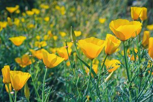 Blooming Mexican Gold Poppy