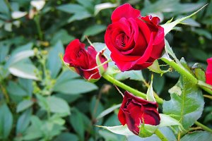 Roses in summer garden.