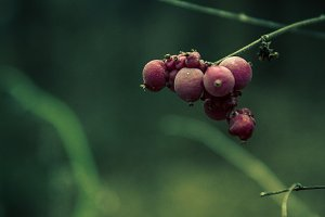 Forest Berrys