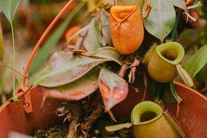 carnivorous plant. flower