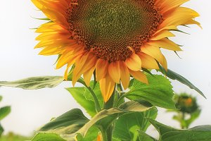 Sunflower in summer day field